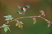 Ruby-throated Hummingbird (Archilochus colubris), male landing on Virginia creeper (Parthenocissus quinquefolia), Hill Country, Central Texas, USA