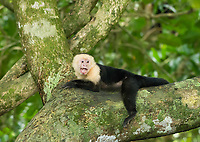 White-faced Capuchin, Cebus capucinus, resting in a tree in Manuel Antonio National Park, Costa Rica