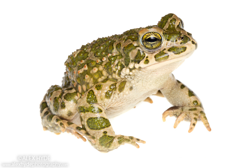 European green toad {Bufotes viridis} photographed in mobile field studio on a white background. Danube Delta, Romania. May.