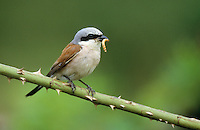 Neuntöter, Rotrückenwürger, Männchen mit Futter im Schnabel, Rotrücken-Würger, Würger, Lanius collurio, red-backed shrike