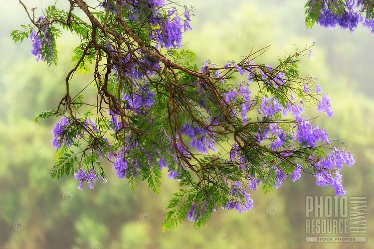 Tight framing of purple flowers hanging off of a beautiful jacaranda tree branch during a foggy rainy day in Pu'uanahulu, Hawai'i Island.