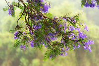 Tight framing of purple flowers hanging off of a beautiful jacaranda tree branch during a foggy rainy day in Pu'uanahulu, Hawai'i Island.