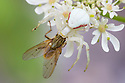 White form of Goldenrod Crab Spider (Misumenia vatia) camouflaged on umbellifer flowers where it has captured its prey, a Yellow Dungfly {Scathophaga stercoraria. Devon, UK. June.