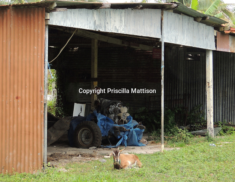 Rarotonga, Cook Islands - September 21, 2012:  A goat is tied up in front of a large shed.
