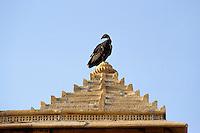 Indien, Jaisalmer (Rajasthan), Geier bei Chhatri (Totengedenkstaette)