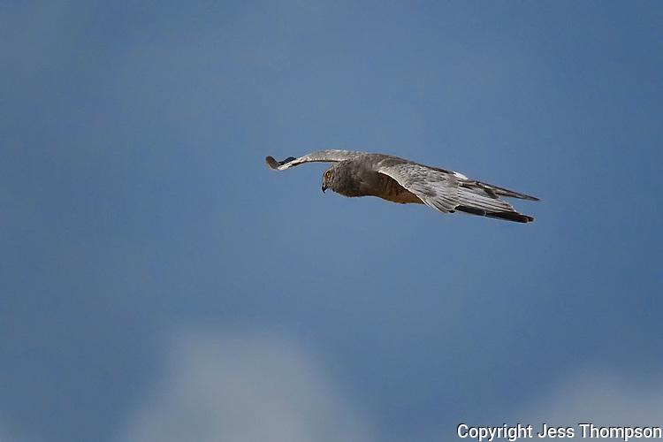 Northern Harrier, Male, Kansas roadside