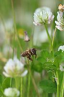 A bee gathering nectar from a white clover.///Butinage d'une abeille sur une fleur de trèfle blanc.