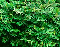 Pattern of sumac leaves Wisconsin