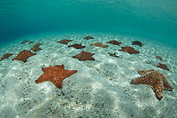 Pincushion Starfish<br />