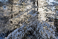 White Pines Covered With Morning Frost In The Adirondack Mountains Of New York State