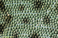 CH15-002z  African Chameleon - close-up of skin, scales - Chameleo senegalensis
