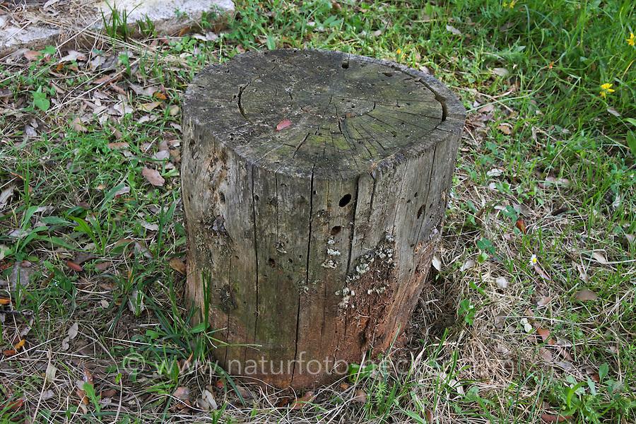 Baumstubben in dem Mulmbock lebt, Totholz, Baumstumpf, Zimmerbock, Ergates faber, Carpenter longhorn, Long horned beetle