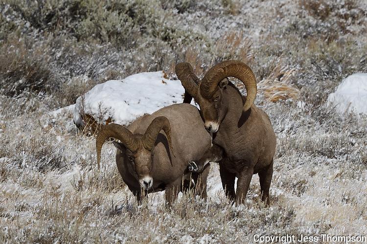 Bighorn Sheep Rams, warning kick