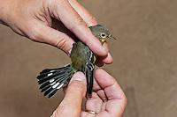 Nashville Warbler (Vermivora ruficapilla) has feathers checked during fall bird banding process at Haldimand Bird Observatory, s. Ontario, Canada
