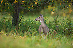 A white-tailed doe standing in an autumn field in northern Wisconsin.