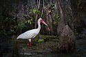 April 19 thru 21 2016 / Jupiter Florida and vicenity / White Ibis / Photo by Bob Laramie