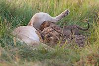 Three Lion cubs (Panthera leo) nursing at the site of a kill, Masai Mara, Kenya