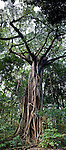Giant strangler fig tree