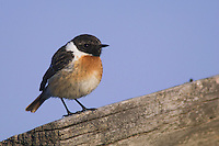 Common Stonechat, Saxicola torquata,male perched, National Park Lake Neusiedl, Burgenland, Austria, April 2007