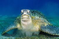 Green turtle, latin name Chelonia mydas, eating plants at the bottom, off Marsa Alam coast, Egypt, Red Sea,