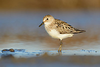 Adult Semipalmated Sandpiper (Calidirs pusilla) in breeding plumage. Yukon Delta National Wildlife Refuge. June.