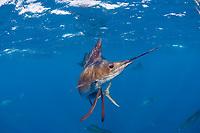 pelagic Atlantic sailfish, Istiophorus albicans or platypterus, hunting sardines, off Yucatan Peninsula, Mexico (Caribbean Sea)