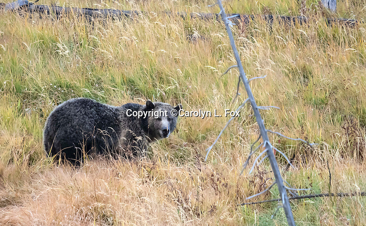 The grizzly bear called Raspberry is often seen in Yellowstone.