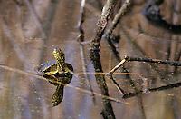 Europäische Sumpfschildkröte,  Sumpf-Schildkröte, Emys orbicularis, European pond turtle, European pond terrapin