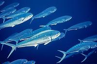 "common dolphinfish or mahi mahi, Coryphaena hippurus, juvenile, schooling, ""schoolies"", off Summerland Key, Florida Keys, Florida, USA, Atlantic Ocean"