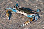 Blue crab resting on sand beach at low tide.
