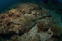 Eastern Shovelnose Ray, Aptychotrema rostrata. Shag Rock, Brisbane, Queensland, Australia, South Pacific Ocean
