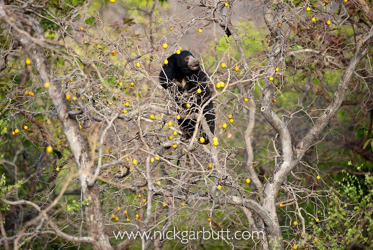 Sloth Bear (Melursus ursinus) climbing tree for fruit. Satpura National Park, India.