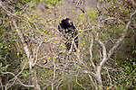 Sloth Bear (Melursus ursinus) climbing tree for fruit. Satpura National Park, India.