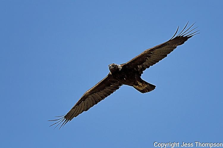 Golden Eagle, Wyoming