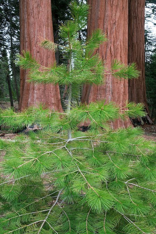 Small fir tree growing next to Giant Sequoia (Sequoiadendron giganteum) Sequoia National Park, California