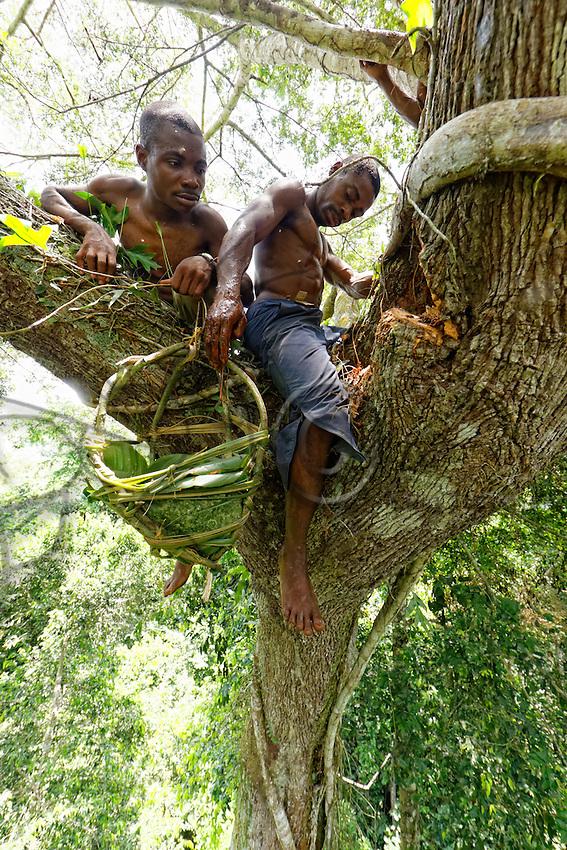 """On a giant mahogany tree, the honey-hunters work at the harvest as a team. One takes care of the nest while the other lowers the honey. <br /> In August and September, when the honey is very abundant, the """"Douma"""", honey wine, is made.///Sur un acajou géant, les chasseurs travaillent ensemble à la récolte. L'un s'occupe du nid pendant que le second descend le miel.<br /> C'est en aout et en septembre quand le mile est très abondant que le «Douma», le vin de miel est fabriqué."""