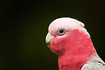 Galah (Eolophus roseicapilla) male, Birrong, Sydney, New South Wales, Australia