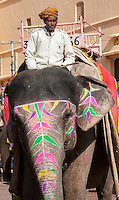 Amber (or Amer) Palace, near Jaipur, Rajasthan, India.  Mahout on Elephant used to Carry Tourists to the Palace Courtyard.