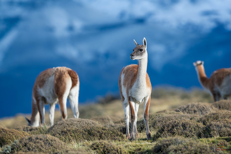 Guanaco (Lama guanicoe) keeps watch while the rest of the herd feeds.  The wind was howling as we tried to capture images of this group in the nice light.  Tough on us, but the Guanacos were totally unfazed.