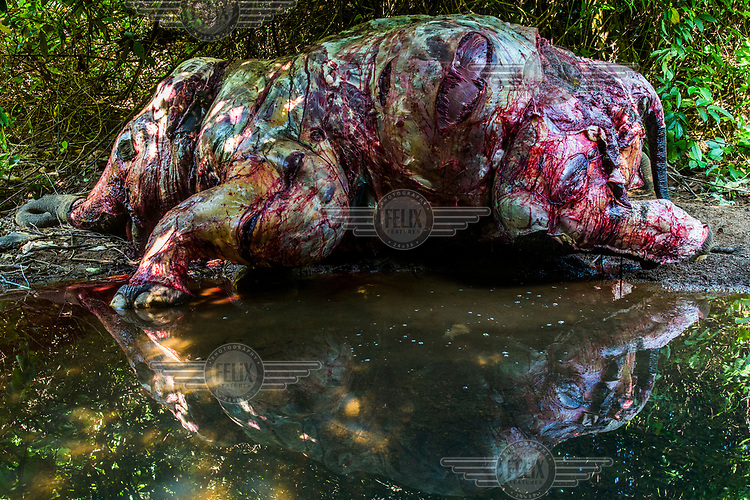 The carcass of a 25-year-old male wild elephant that had been killed and skinned a day earlier by poachers in Chaung Tha Forest Reserve. Inspection by a team of police, vets, MTE staff, and members of EERU revealed that the poachers first shot this elephant with an anesthetic dart, then cut his hind legs with a dagger to maim him and make him fall on his knees instead of onto one side. Had the elephant fallen onto his side, the poachers would have lost half of the skin. Poisoning darts with widely available herbicides is a common method used by poachers.