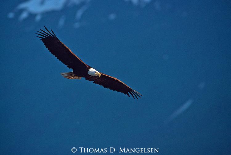Evening portrait of bald eagle in flight in Southeast Alaska.