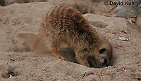 0215-08tt  Meerkat Digging Burrow, Suricata suricatta © David Kuhn/Dwight Kuhn Photography