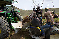 Workers plant one-year-old Cosmic Crisp nursery trees in the McDougall & Sons Inc., orchards in Wenatchee, WA on April 13, 2018. The new variety of apple is being developed by the Washington State University Tree Fruit Research and Extension Center. Cosmic Crisp apples will debut with consumers in 2019. (Photo by Karen Ducey)