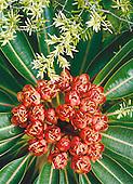 Xanthostemon longipes