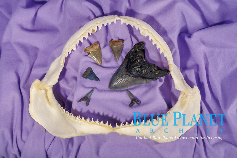 fossilized giant tooth of megalodon, Carcharocles megalodon, an extinct species of shark, and smaller teeth of great white shark, Carcharocles carcharias, are inside jaws of modern shark
