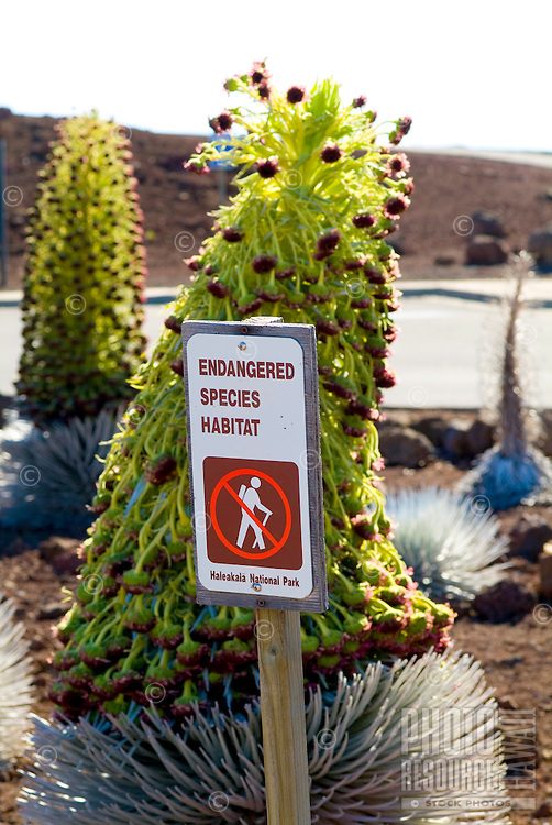 Close-up of two endangered silversword plants in bloom, indigenous only to Haleakala Crater on the island of Maui.