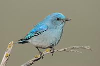 Adult male Mountain Bluebird (Sialia currucoides). Douglas County, Washington. April.