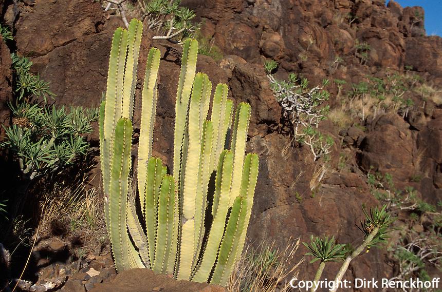Spanien, Kanarische Inseln, Gomera, Kandelaberwolfsmilch (Euphorbia Canariensis), endemisch auf den Kanaren