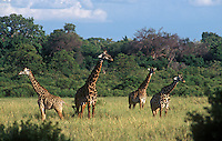 Male MASSAI GIRAFFE (Giraffe Camelopardalis) can weigh as much as 4250 pounds - LAKE MANYARA NATIONAL PARK, TANZANIA