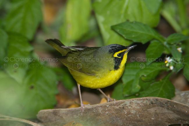 Kentucky Warbler (Oporornis formosus), Fort Desoto Park, near St. Petersburg, Florida